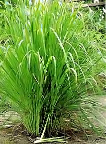 how to grow lemongrass in uk