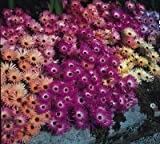 Just Seed - Flower - Mesembryanthemum Magic Carpet Mixed 2000 Seed