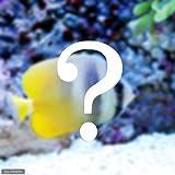 (海水魚)おまかせチョウチョウウオ(1匹) 本州・四国限定[生体]