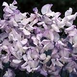 Sweet pea lilac ripple seeds