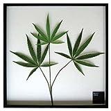《リーフパネル》Cannabis sativa(ヘンプ/大麻)