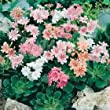 Sycamore Trading LEWISIA Sunset X 5 Young Plants