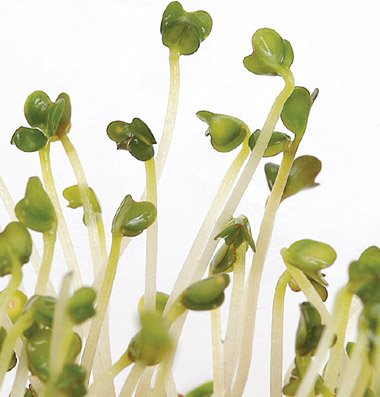 Organic Broccoli Sprouting Seeds