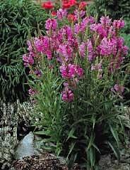 Pink Obedient Perennial 4 Plants - Physostegia Rosea - Buy Pink Obedient Perennial 4 Plants - Physostegia Rosea - Purchase Pink Obedient Perennial 4 Plants - Physostegia Rosea (Hirt's, Home & Garden,Categories,Patio Lawn & Garden,Plants & Planting,Outdoor Plants)