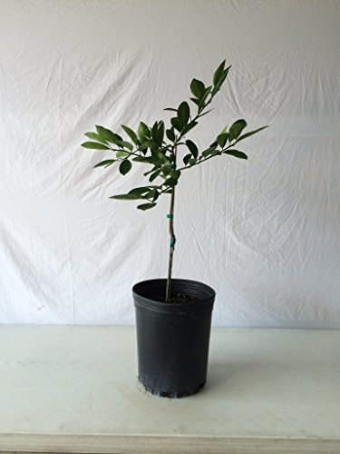 2-3-Year-Old-2-3-Ft-Key-Lime-Tree
