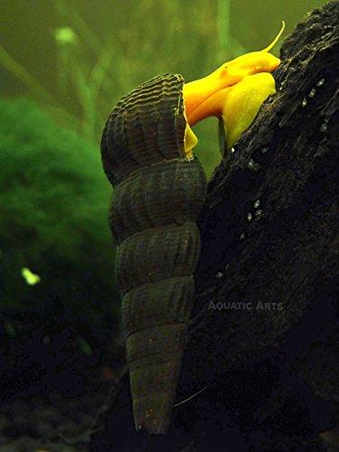 3 orange giant sulawesi rabbit snails tylomelania sp 1 for Gardening tools jakarta