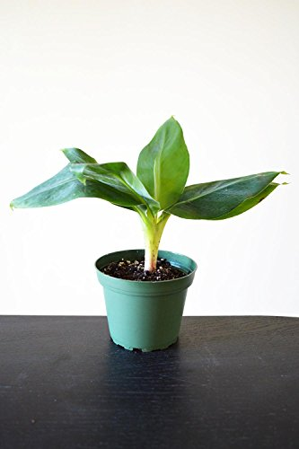 9GreenBox-Truly-Tiny-Tiny-Musa-Banana-Tree-4-Pot-Great-Fruit