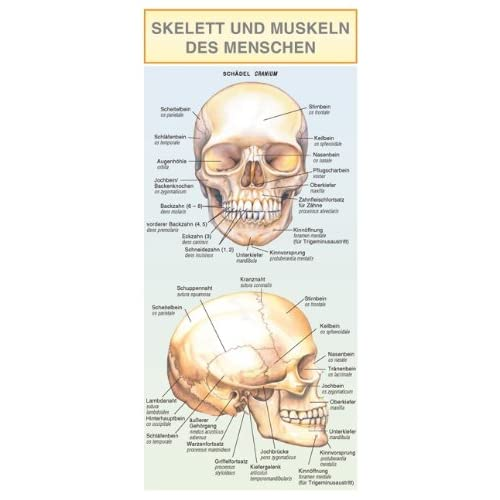 Leporello - skelett und muskeln des menschen