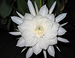 Epiphyllum Oxypetalum - Night Blooming Cereus - FRAGRANT Orchid Cactus - Well Rooted PLANT