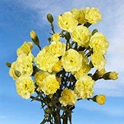 160 Stems of Fresh Cut Yellow Spray Carnations | 640 Blooms | Fresh Flowers Express Delivery | Perfect for Birthdays, Anniversary or any occasion.