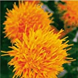 SD1471 Red Safflower Flower Seeds, Chinese Medicine Saffron Flower Seeds, Non-Genetically Modified Seeds (20 Seeds) thumbnail