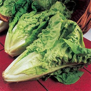 Seeds And Things Parris Island Romaine Lettuce-3000 Seeds Excellent For Caesar Salads