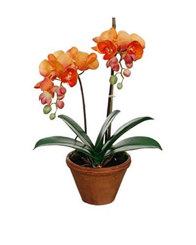 Winward Mini Phalaenopsis in Pot, Coral