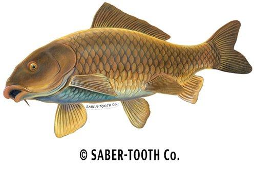 Common Carp Fish Decal Sticker ~ Fishing & Wildlife Series