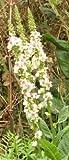 Verbascum nigrum album (Mullein) seeds
