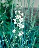 Verbascum blattaria White (Mullein) seeds