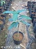 玉文マンゴーの苗木(2年木)