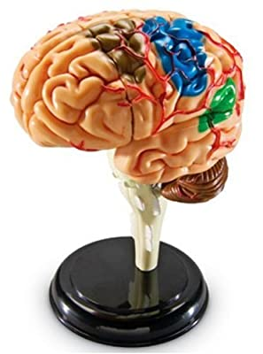 Learning Resources Brain Anatomy Model from Learning Resources