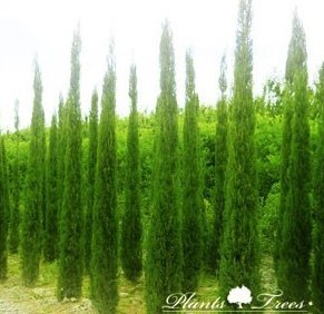 cupressus sempervirens pyramidalis mediterranean. Black Bedroom Furniture Sets. Home Design Ideas
