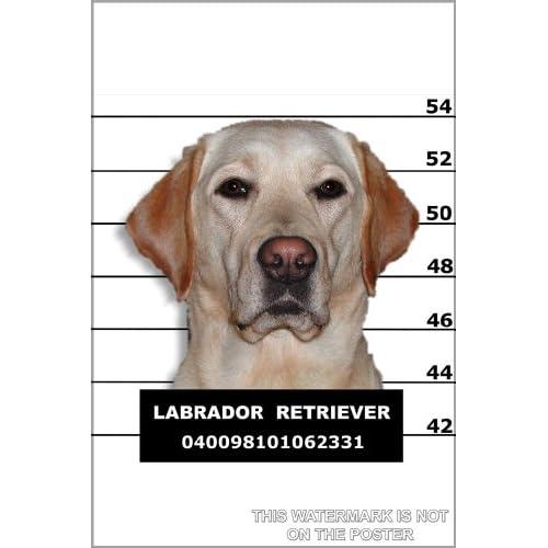 """Amazon.com: Labrador Retriever Mug Shot - 24""""x36"""" Poster: Prints"""