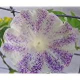 Treasuresbylee - Speckled Purple Morning Glory - 25 Heirloom Flower Seeds