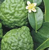 GRAFTED Kaffir Lime Grafted Citrus Tree Perfect for container [GC007]