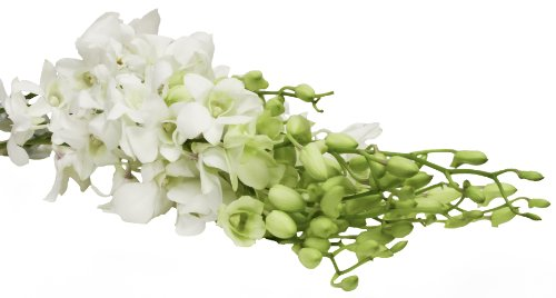 10 White Orchids Dendrobium - Fresh Cut Flowers