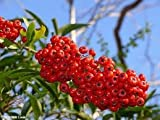 Firethorn - Pyracantha Coccinea - 1 Pkt of 25 seeds - Ornamental Shrub - Hedging - Bonsai - Berries