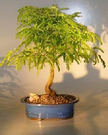 Bonsai Boy's Flowing Tamarind Bonsai Tree tamarindus indica
