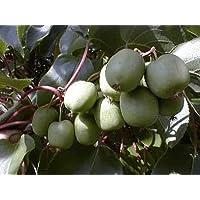 Hirt's 2 Hardy Kiwi Plants - Actinidia - Anna and Meader - 4