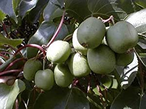Hirt's 2 Hardy Kiwi Plants - Actinidia - Anna and Meader