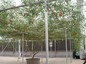Rare Italian Tree Tomato Grows 25 Feet Tall! 30 Seeds