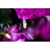 Hirt's Magenta Christmas Cactus - Zygocactus - 4