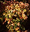 Dwarf Nandina Firepower Potted Plants (1 order contains 2 potted plants)
