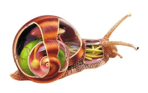 スカイネット 立体パズル 4D VISION 動物解剖 No.09 かたつむり解剖モデル