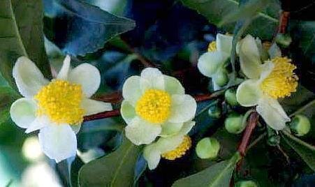 Tea Plant 10 Seeds-Brew Your Own Tea-Camellia-Tropical
