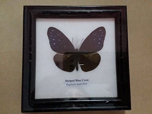 picture-frames-home-decor-real-striped-blue-crow-butterfly-framed-taxidermy-entomology-insect-displa