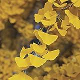 Ginkgo Biloba 3 - Year Tree