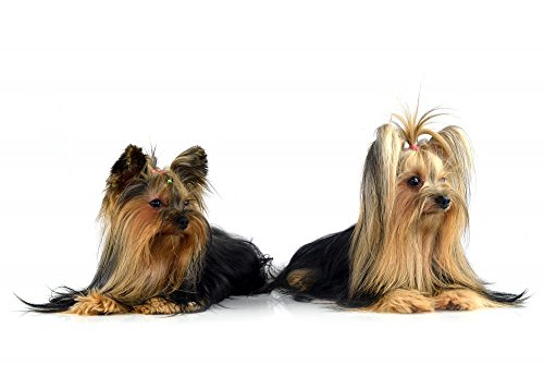 Wallmonkeys WM107276 Yorkshire Terrier Isolated on White Peel and Stick Wall Decals (24 in W x 17 in H)