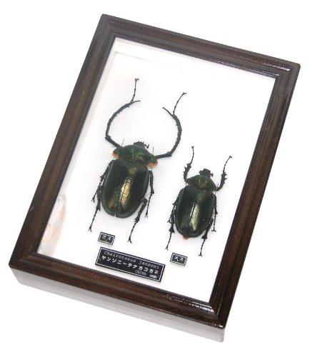 名和昆虫博物館企画・制作 ヤンソニーテナガコガネの雌雄セット標本