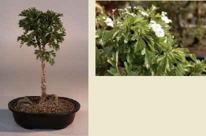 Buy Japanese Hawthorne Bonsai Tree.(crataegus cuneata)