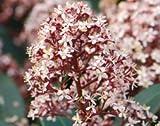 Japanese skimmia (male) (Skimmia japonica Rubella)