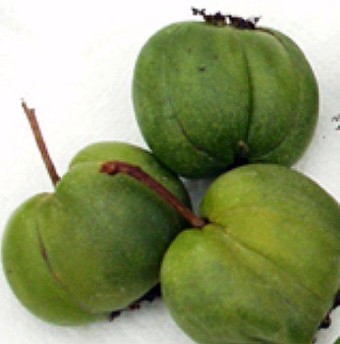 Hardy Chang Bai Kiwi Plant - Actinidia - FEMALE - Large Fruit - 2.5
