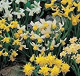 100 x Mixed Rockery Narcissus PLUS 50 FREE - Spring Flowering - FREE UK P & P