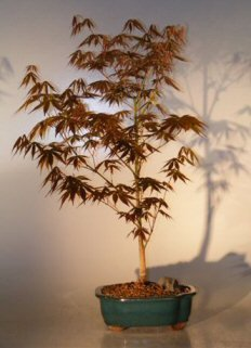 bonsai-boys-japanese-red-maple-bonsai-tree-large-acer-palmatum-atropurpurea-by-bonsai-boy