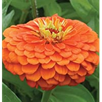 Flower Zinnia Benary's Giant Orange D1365 (Orange) 50 Seeds by David's Garden Seeds