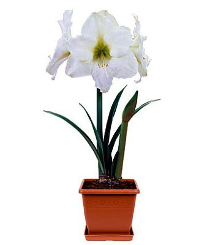 Amaryllis Kit: Athene with Plastic Pot & Growing Medium
