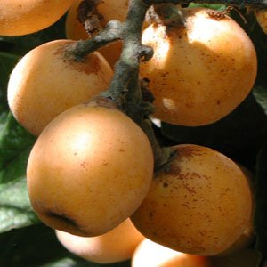 Loquat Tree For Container or Garden Growing