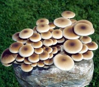 The Pioppino Mushroom Garden Patch - Delicious and Easy Mushroom Recipes
