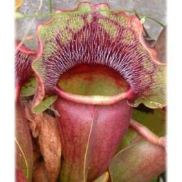 5 Purple Pitcher Plant Seeds (Plant Pitcher compare prices)